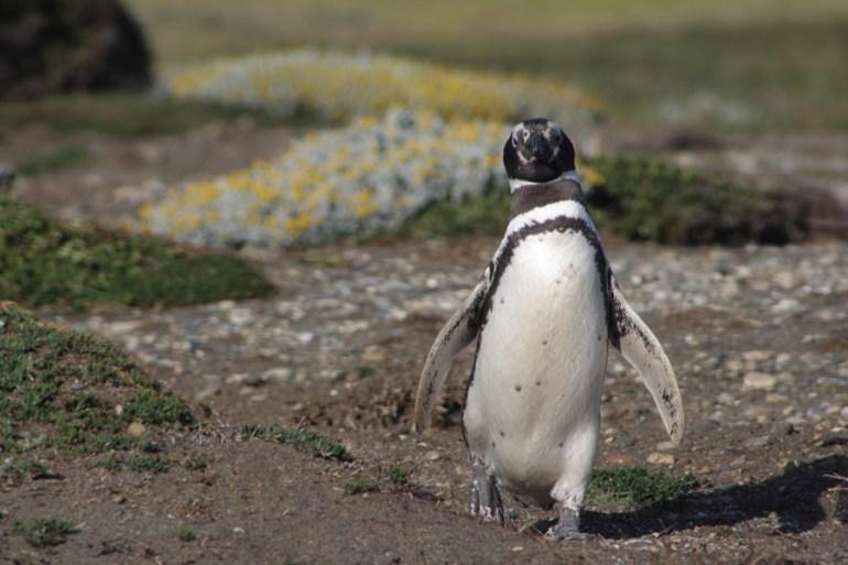 magellanic-penguin-patagonia
