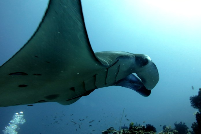 Complete Guide To Dive Komodo Island Indonesia Stingy Nomads