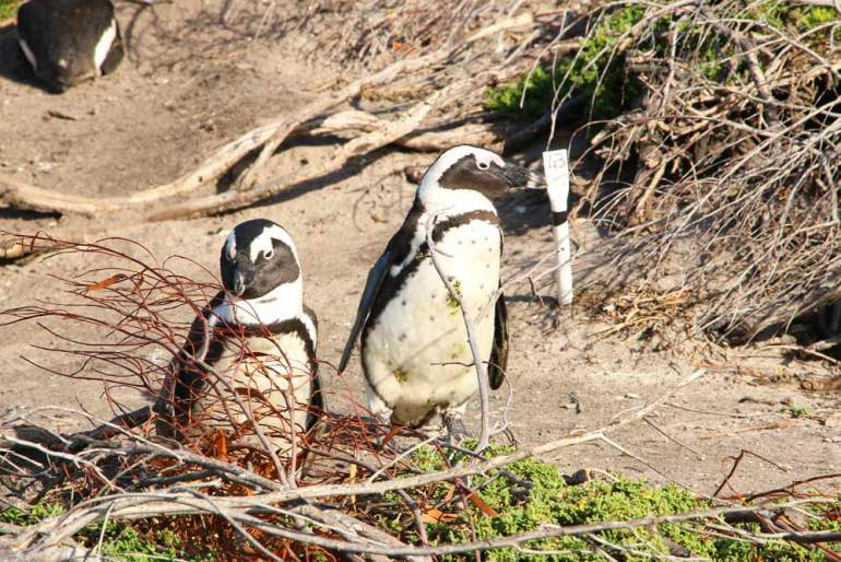 Two penguins in the bush at Stony Point