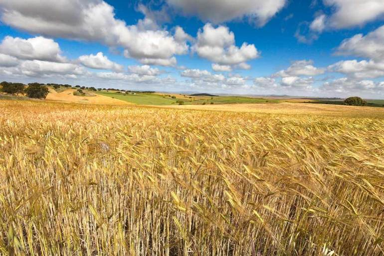 Wheat fields the most common scenery on the Camino