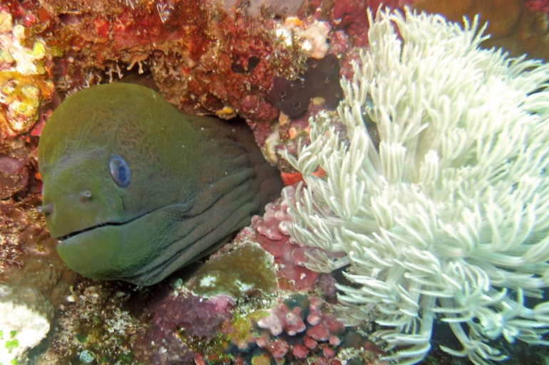 Moray Eel diving Bira
