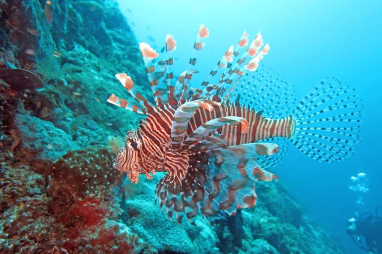 Lionfish diving Bira