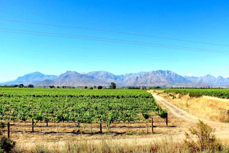 Endless vineyards at one of the wine estates on the Breedekloof wine route