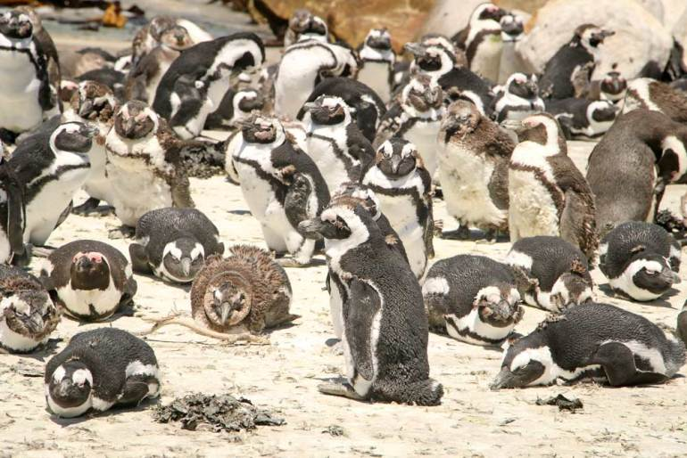 Many African penguins on the rocks at Stony Point, South Africa