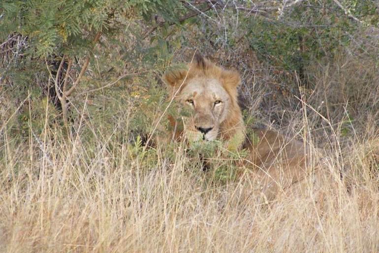 Lion-on-Honeymoon-Safari-in-South-Africa