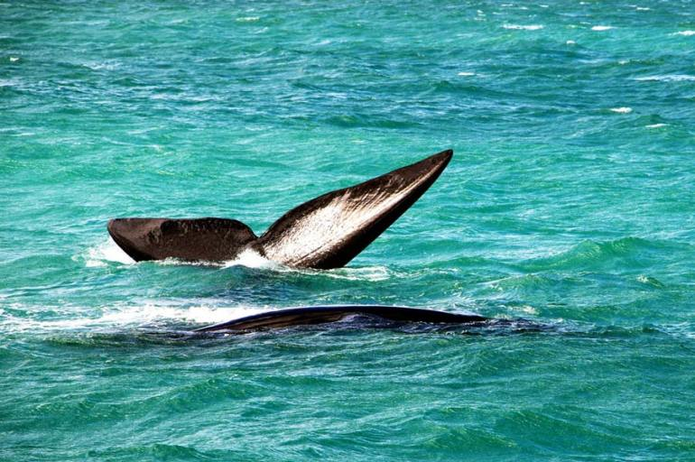 southern right whales hermanus