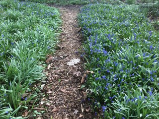 Scilla siberica along the garden path of Philippusfenne.