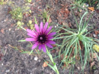 28 September 2014. Salsify (Tragopogon porrifoius) in the herb garden.