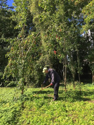 9 September 2015. Mowing with the scythe in the orchard.