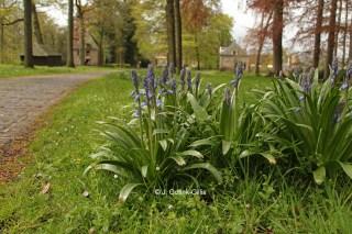 Spaanse hyacint op Hackfort. © J. Gotink-Gillis