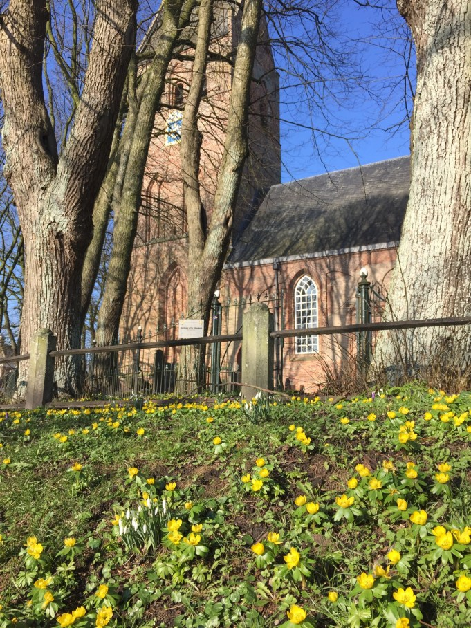 Winter Aconies around and at St. Vitus Church Yard in Stiens