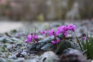 Cyclamen coum at Stinze Stiens.