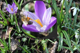 Bee on Dutch Crocus at Stinze Stiens.