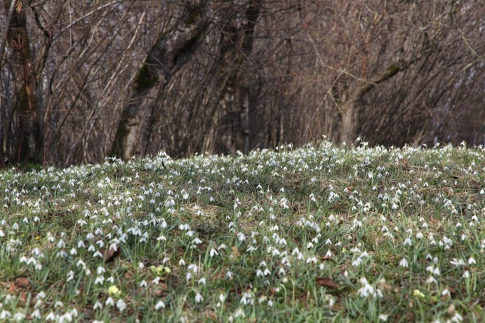 Slovenia, Snowdrops and Primula vulgaris in orchard near a farm. Photo Stinze Stiens, 28.03.2018.