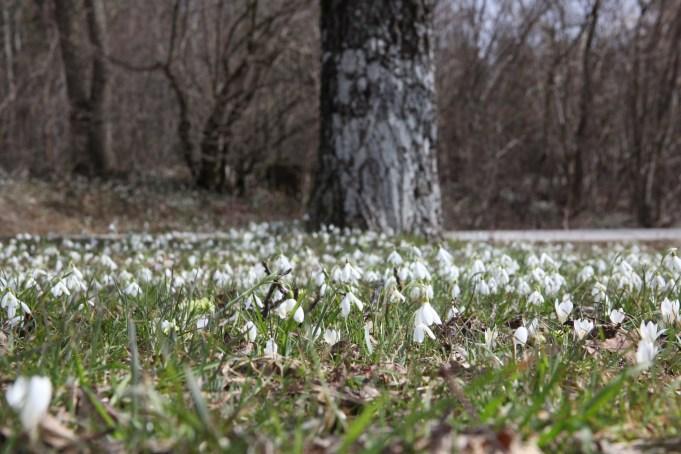 Slovenia, Snowdrops and Crocus vernus subsp. albiflorus. Photo Stinze Stiens, 28.03.2018.