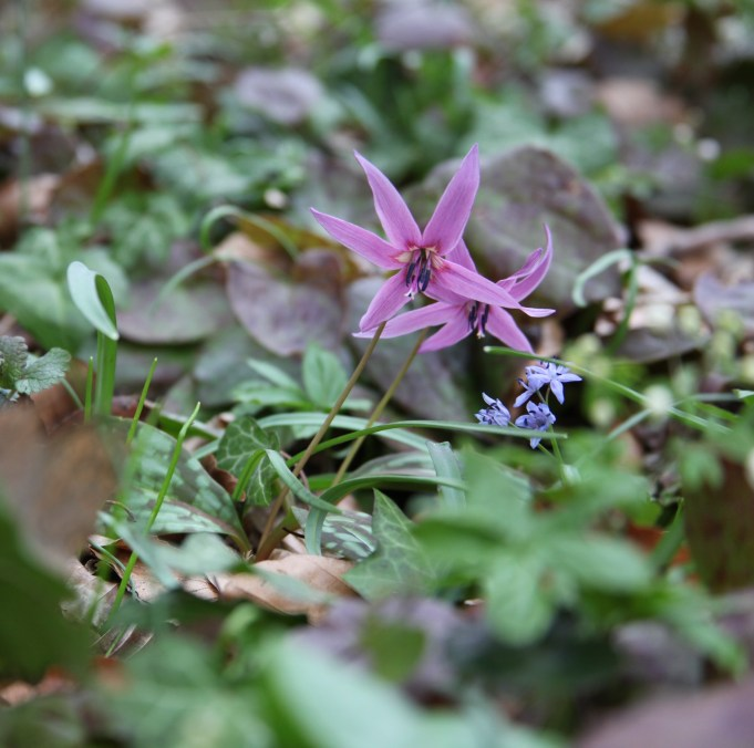 Slovenia, Dog's Tooth Violet and Scilla bifolia. Photo Stinze Stiens, 27.03.2018.