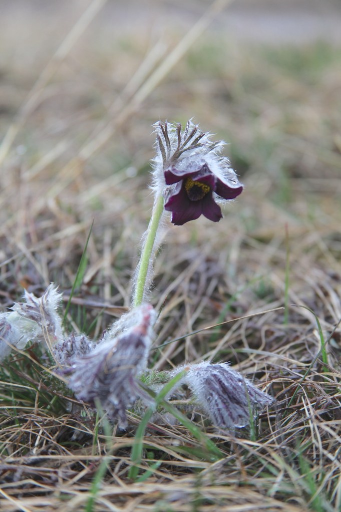 Slovenia, Pulsatilla nigricans. Photo: Stinze Stiens.