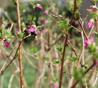 Salmonberry (Rubus spectabilis)at Stinze Stiens.