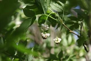 Bladder nut blossoms at Stinze Stiens.