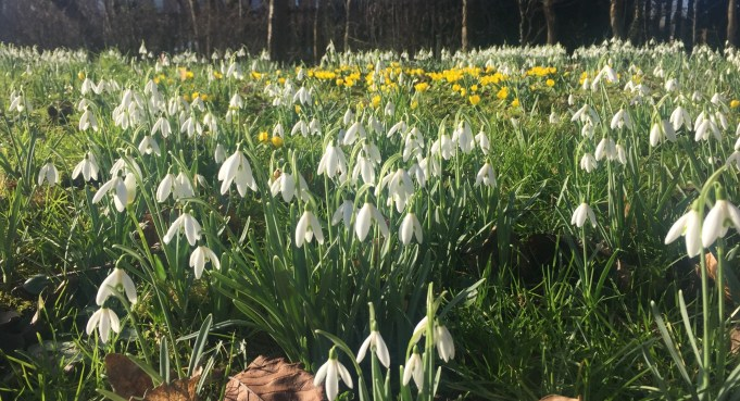 Snowdrops and 'Ayttaflowers' or Winter Aconites at Stinze Stiens.