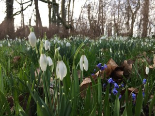 Snowdrops and Squills (Scilla siberica) at Philippusfenne.