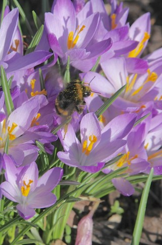 A bumble bee is submerged in the pollen of the Dutch Crocus.
