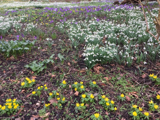 Stinze Stiens is like an impressionist painting, the Spring crocus in full bloom, the white Snowdrops and yellow Winter Aconites.