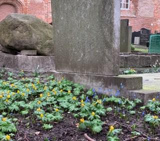 Sterhyacint (Scilla sibirica) en Winterakonieten bij de St. Vituskerk in Stiens