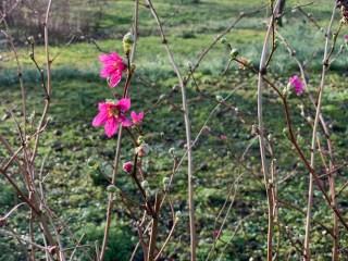 Prachtframboos (Rubus spectabilis) bij Stinze Stiens.