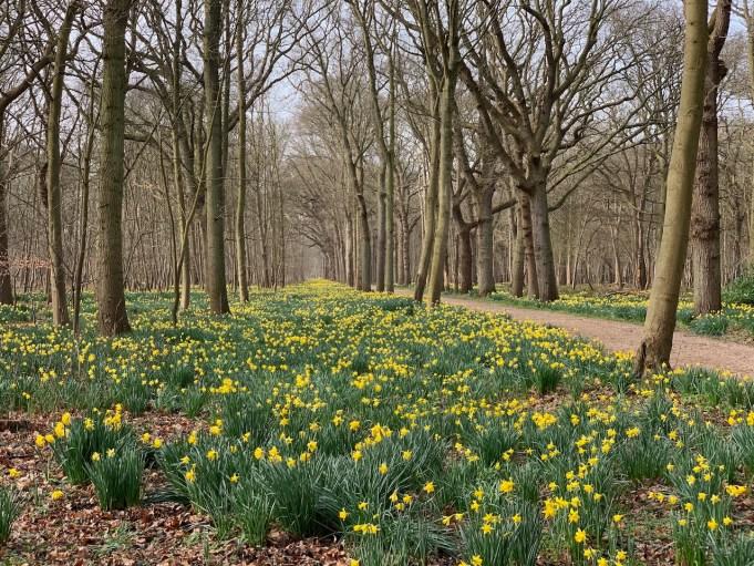 'Laan van Vermaak' met Wilde en andere narcissen op Buitenplaats Berkenbosch in De Manteling, Domburg.