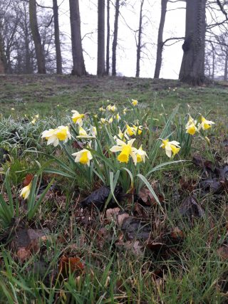 Wild Daffodils in a humid valley at Hackfort.