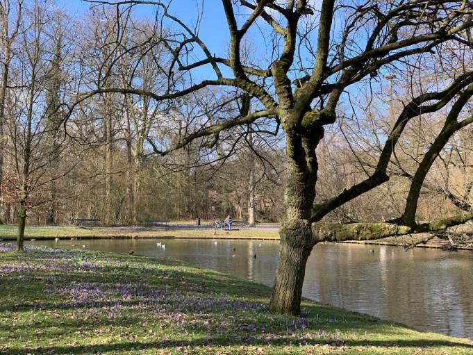 Boerenkrokus in Park De Plantage in Culemborg.