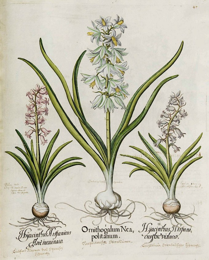 Basilius Bessler, Hortus Eystettensis, vol. 1: Ornithogalum nutans