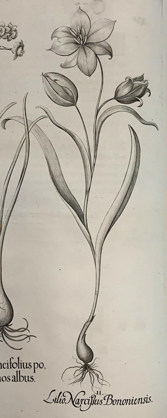 Bostulp in: Besler, Hortus Eistettensis, 1640.
