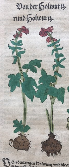 Holwortel in : Bock, Kreutterbuch, 1539/1565