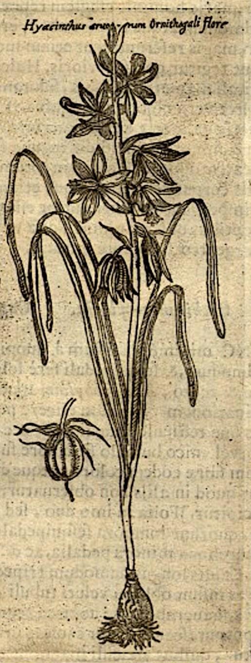 Knikkende vogelmelk in: Columna Fabius, Ecphrasis minus cognitarum stirpium, 1616.