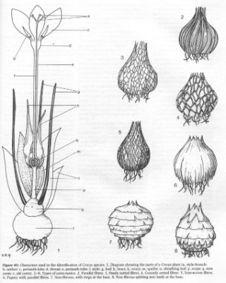 Crocus bulbs