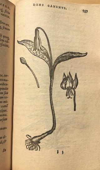 De Hondstand in: Dodonaeus, Purgantium …, 1574