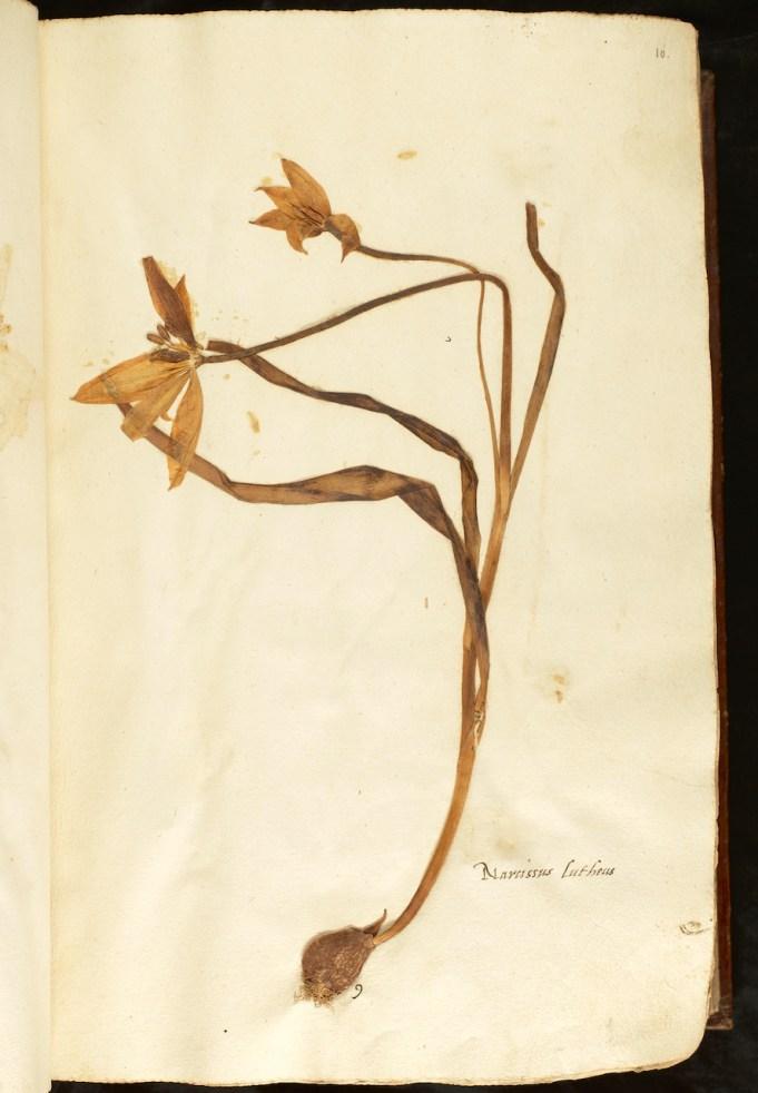 Tulipa sylvestris 1550, coll. Naturalis
