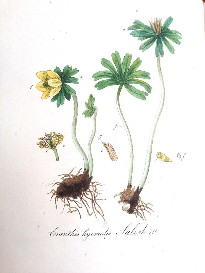 Flora Batava IX, 1846
