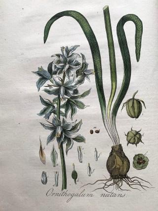 Knikkende vogelmelk in: J.C. Sepp, Jan Kops, Flora Batava, deel IV, 1822.