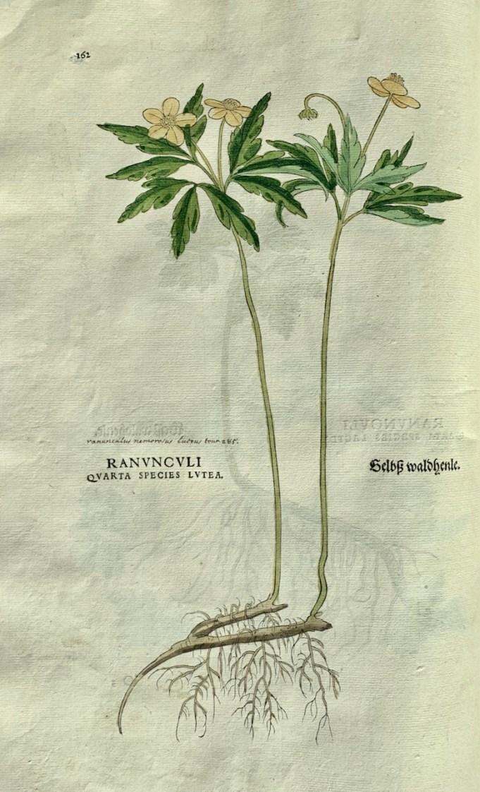 Gele anemoon in: Fuchs 1542