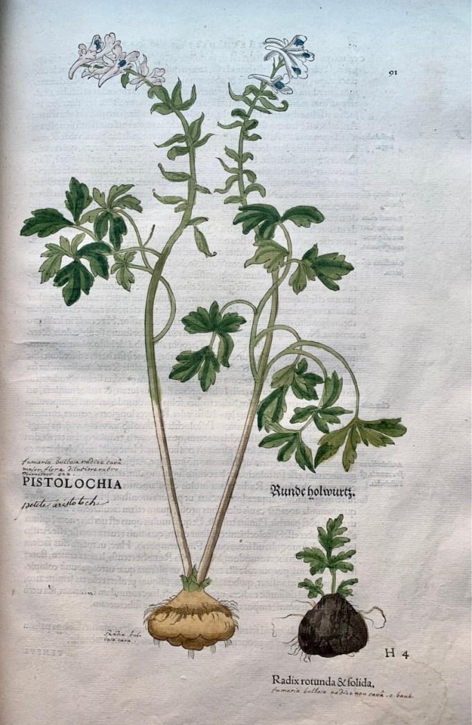 Fuchs, 1542 Holwortel