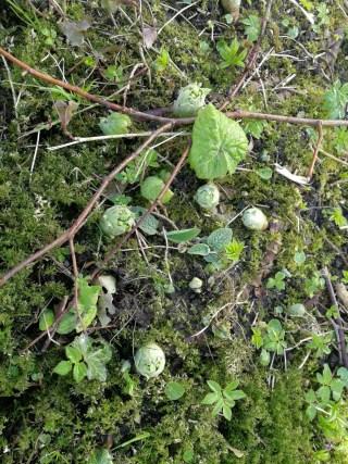 Wit hoefblad piept boven de grond bij Dekema.