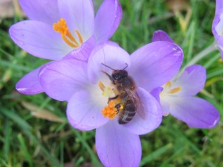Bee landed on one of the Tommasini's crocuses in Park Jongemastate.