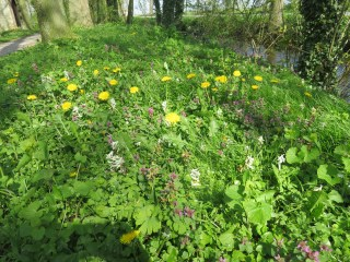 Dandelions are overgrowing the Bulbous Corydalis in Park Jongemastate.
