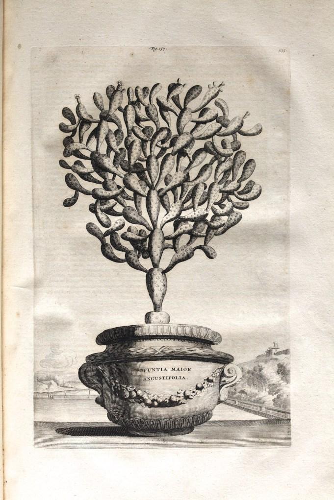 Opuntia. Munting 1696