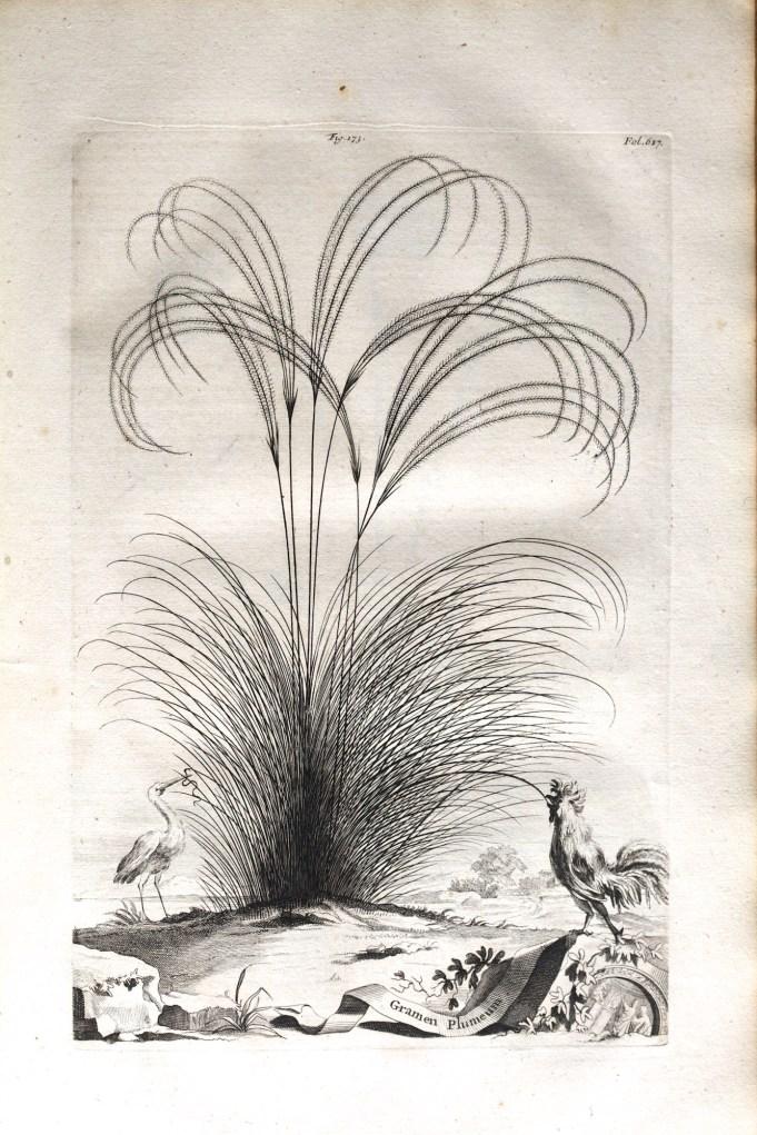 Gramen Plumeum. Munting 1696.