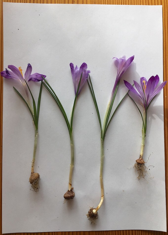 Dutch crocuses f. l.t.r. De Klinze, Martenastate, Stinze Stiens 2x.