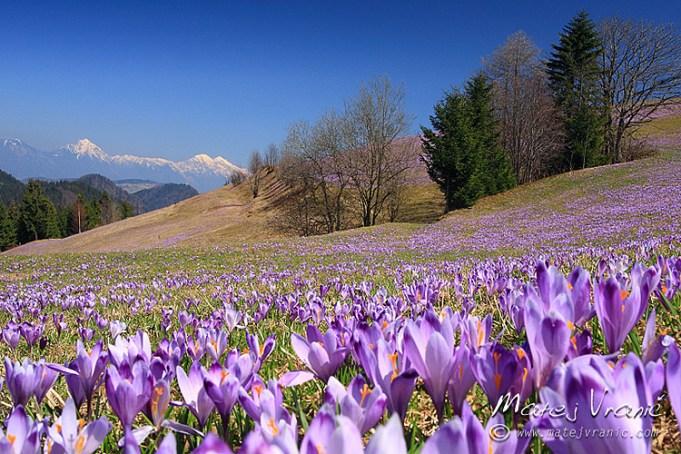 Crocussen in Slovenië